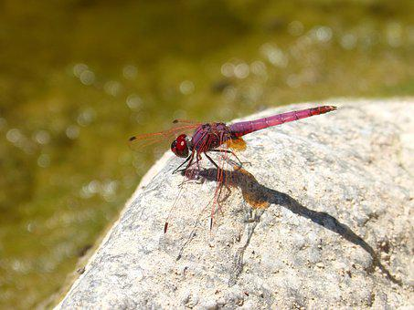 Red Dragonfly, River