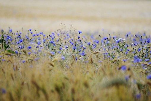 Cereals, Cornflowers, Cornfield, Field