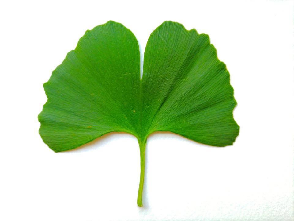 Ginkgo Biloba Leaves Foliage - Free photo on Pixabay