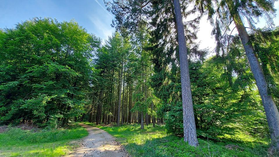 フォレスト, 木, 自然, 風景, 太陽, 残り, 森林浴, 夏, 美しい, ハイキング, ウェルネス