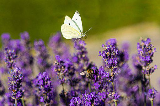 Butterfly, Insect, Lavender, Summer