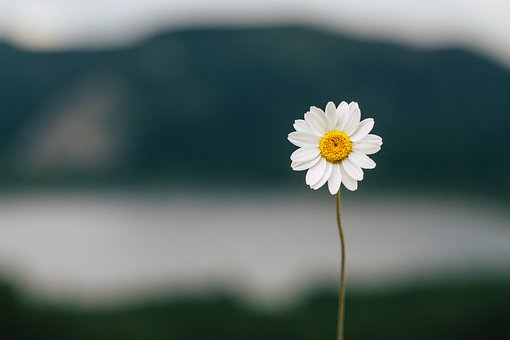 Daisy, Flower, Lake, Nature, Summer