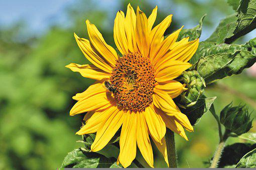 向日葵, 花, 花びら, 黄色, ブルーム, 植物, フローラ, 自然
