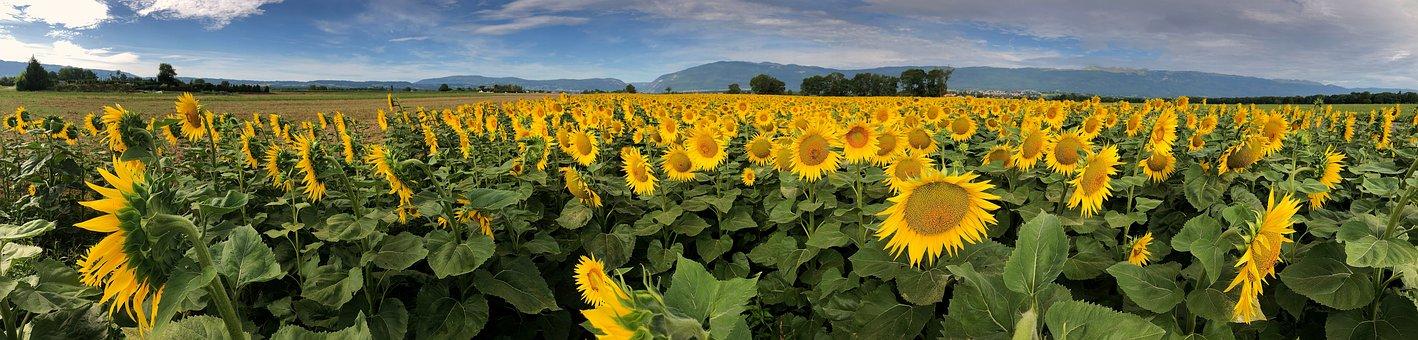 ひまわり, フィールド, 花, 黄色, 自然, 農業, 風景, 夏, パノラマ