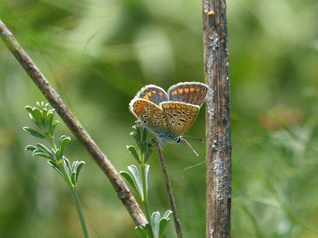Butterfly, Aricia Cramera, Brunette