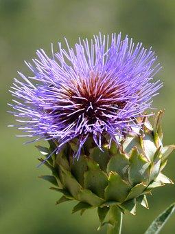 Artichoke, Flower, Purple, Pistils