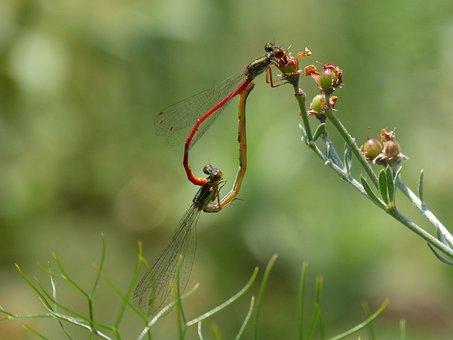 Dragonfly, Damselfly, Red Dragonfly