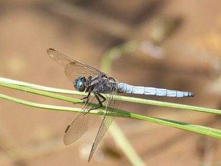Dragonfly, Orthetrum Brunneum