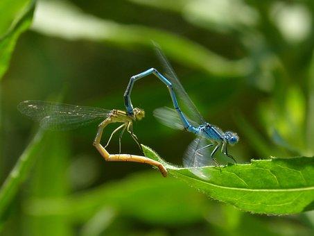Enallagma Cyathigerum, Dragonfly