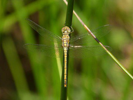 Dragonfly, Yellow Dragonfly