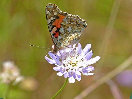 Butterfly, Wild Flower, Libar, Scabiosa