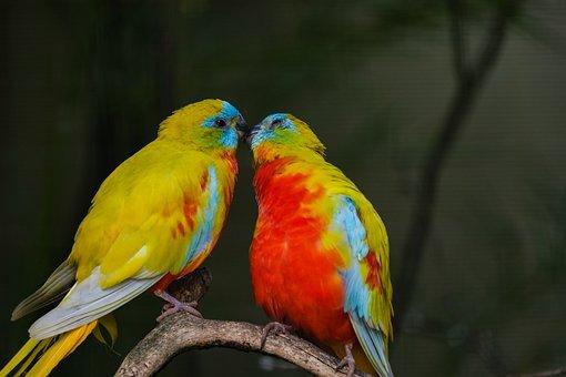 Beautiful Parakeet, Bird, Love, Kiss
