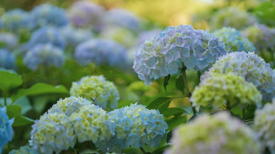 Hydrangeas, Hydrangea Flowers, Bush, Hydrangea Shrub