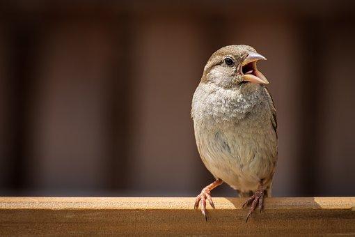 Sparrow, Bird, Sperling, Nature, Animal