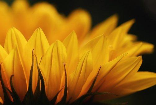 Tournesol, Fleur, Jaune, Émotions
