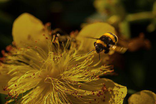 Bee, Yellow, Flower, Flight, Insect