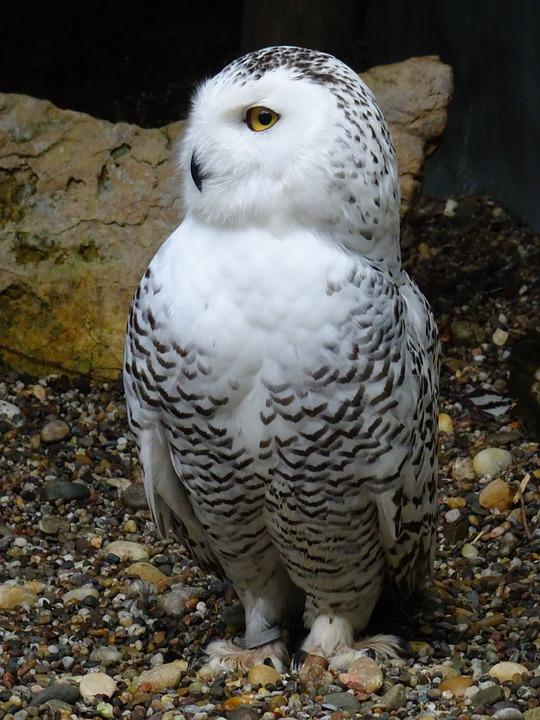 Burung Hantu Snowy Owl Hedwig Foto Gratis Di Pixabay