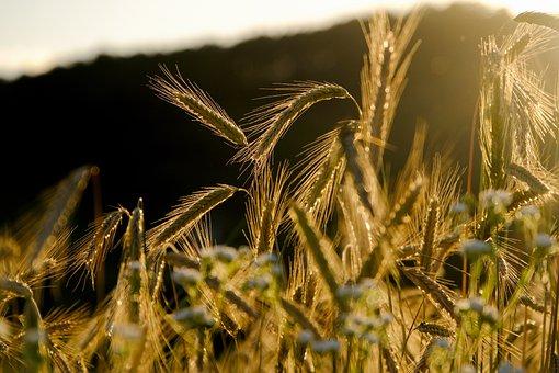 Cereali, Punta, Orzo Campo, Grano, Orzo