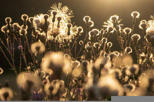 Diestel, Plant, Nature, Thistle Buds
