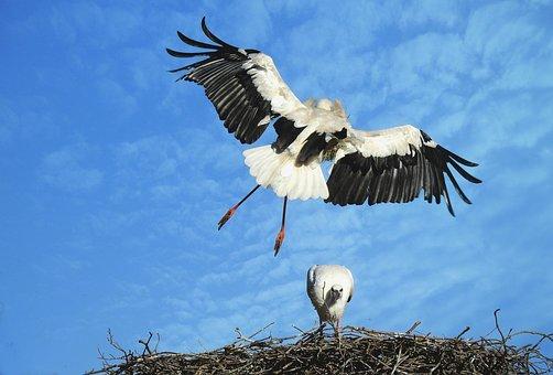 Stork, Wading Bird, Bird Of Prey, Animal