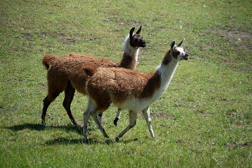 Lamas, Animals, Meadow, Pasture, Summer