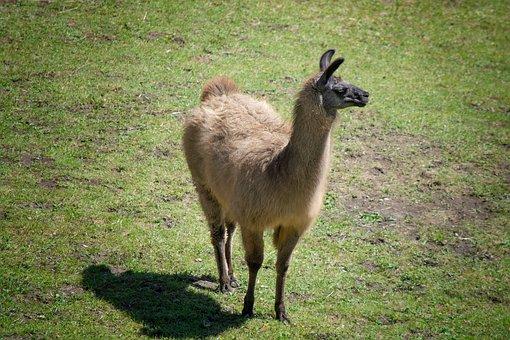 Lama, Brown, Meadow, Pasture, Coupling