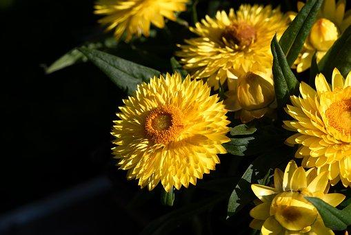 Flowers, Yellow, Straw Flowers, Summer
