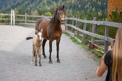 Horse, Pony, Foal, Mother Mare, Mare