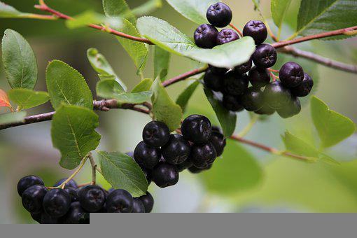 Aronia Beeren, Aronia, Pflanze, Bush
