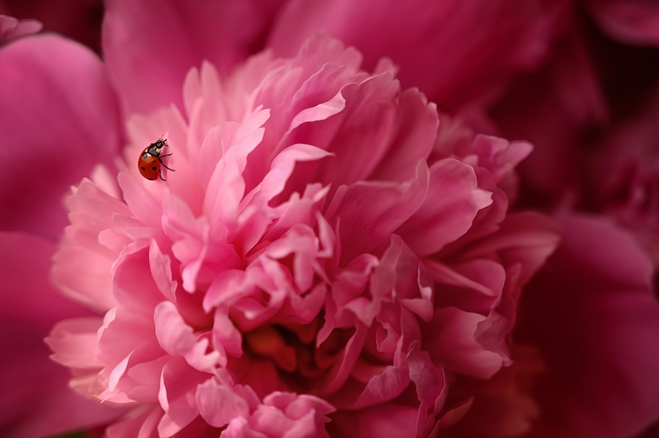ID: God's creation, a pink peony with a ladybug on it.