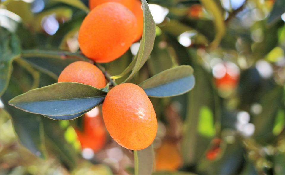 Kumquat, Chinese Orange, Orange Dwarf, Fortunella Spp