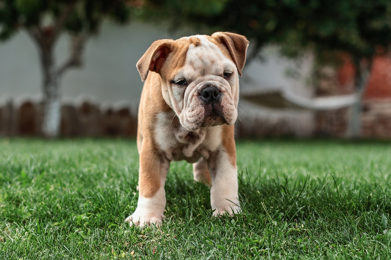 English Bulldog Dog Puppy Free Photo On Pixabay