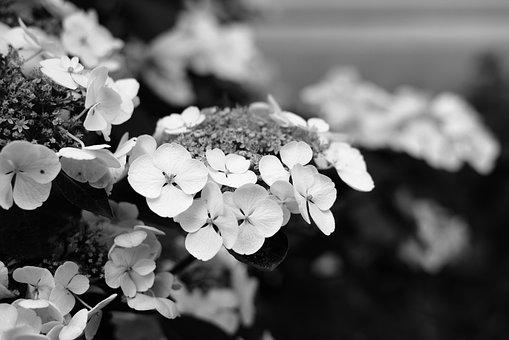 Hydrangea, Flower, Petals, Bloom, Plant