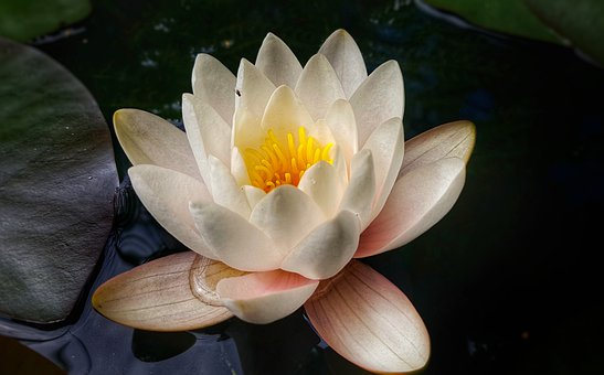 Water Lily, L Pond, Flower, Petals