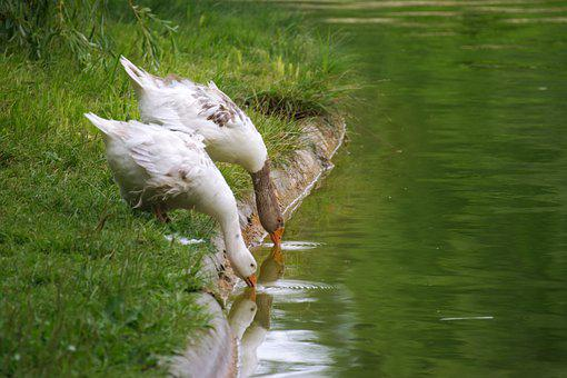 Gänse, Vögel, Gefieder, Weiß, Flügel