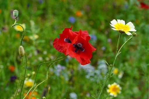 Poppy Flower, Poppy, Flower Meadow