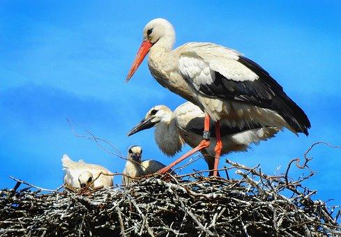 Stork, Wading Bird, Animal