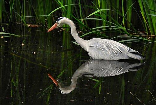 Heron, Wading Bird, Animal, Plumage
