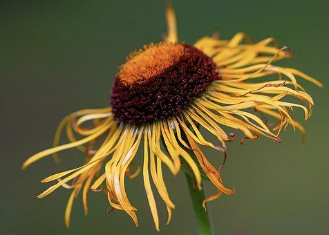 Inula, Medicinal Plant, Plant, Nature