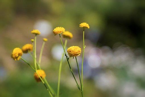 Flower, Yellow, Ranunculus