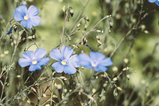 Flower, Lein, Staudenlein, Blue Flax