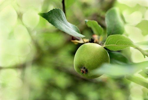 Apple, Fruit, Green, Eat, Tree