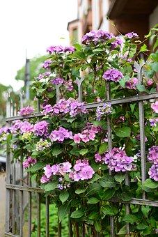 Flowers, Plants, Garden, Hydrangeas