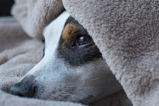 Hond, Jack Russel, Slaap, Zoeken