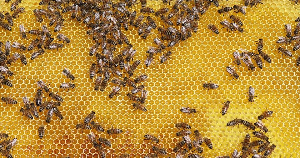 Bees, Honey, Insect, Honeybees, Bee, Honeycomb, Hive