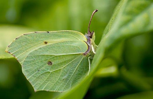 Schmetterling, Zitronenfalter, Insekt