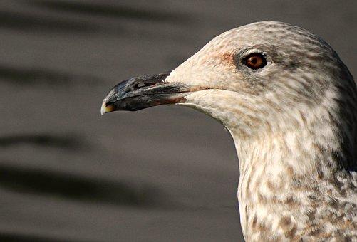 Lesser Black-Backed Gull, Bird, Sea Bird