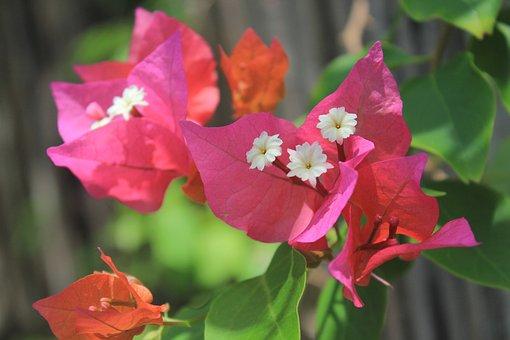 300 Gambar Bugenvil Bunga Gratis Pixabay