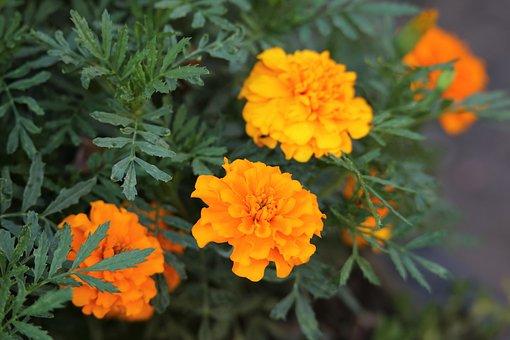 Blumen, Orange Tagettes, Blühen, Blüte