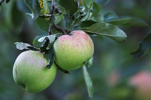 Äpfel, Grüne Äpfel, Obst, Zweig, Blätter